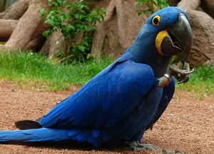 Smart jovial Hyacinth Macaw Parrots for sale - Kent - free